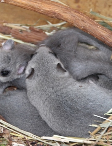 Drei Siebenschläfer kuscheln im Schlafnest